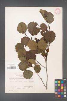 Alnus glutinosa [KOR 20973]