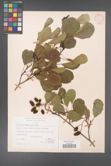 Alnus glutinosa [KOR 20983]