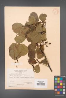 Alnus glutinosa [KOR 20974]