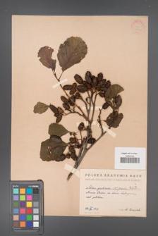 Alnus glutinosa [KOR 1470]