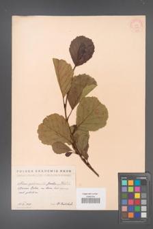Alnus glutinosa [KOR 1478]