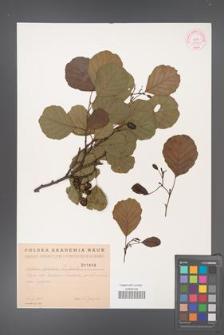 Alnus glutinosa [KOR 1808]