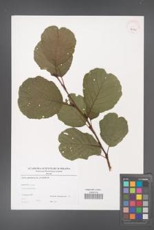 Alnus glutinosa [KOR 39005]