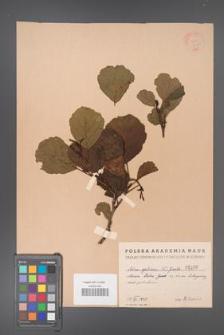 Alnus glutinosa [KOR 1490]