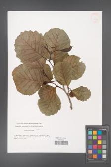 Alnus glutinosa [KOR 33258]