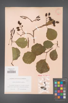 Alnus glutinosa [KOR 11591]