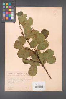Alnus glutinosa [KOR 11594]