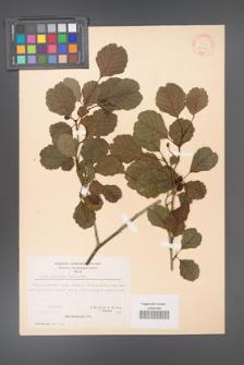 Alnus glutinosa [KOR 20959]