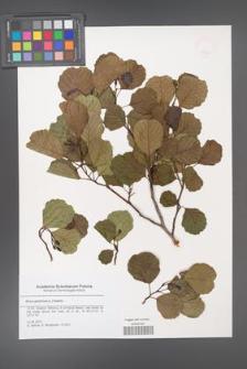 Alnus glutinosa [KOR 47862]
