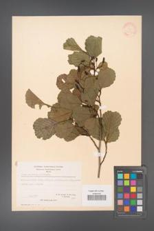 Alnus glutinosa [KOR 20964]