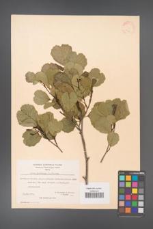 Alnus glutinosa [KOR 20978]