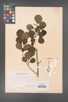 Alnus glutinosa [KOR 20976]