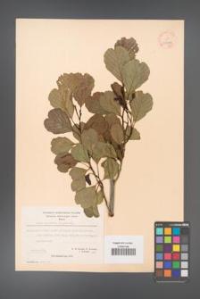 Alnus glutinosa [KOR 20975]