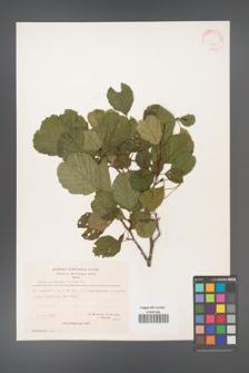 Alnus glutinosa [KOR 20968]