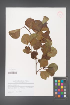 Alnus glutinosa [KOR 48723]