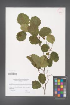 Alnus glutinosa [KOR 43607]