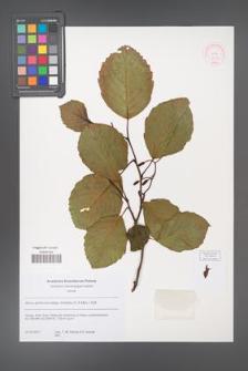 Alnus glutinosa [KOR 52351]