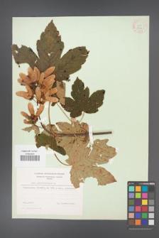 Acer pseudoplatanus [KOR 9026]