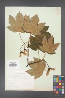 Acer pseudoplatanus [KOR 9023]
