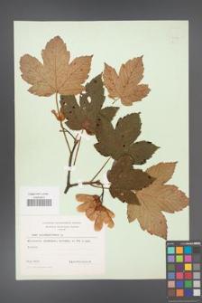Acer pseudoplatanus [KOR 9017]