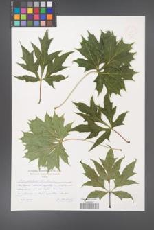 Acer platanoides [KOR 48942]