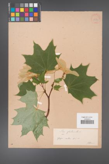 Acer platanoides [KOR 33553]