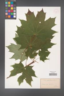 Acer platanoides [KOR 33554]