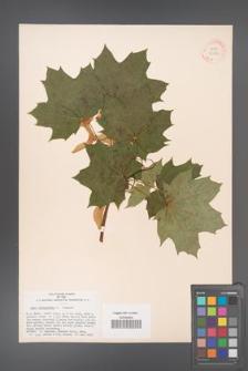 Acer platanoides [KOR 33556]