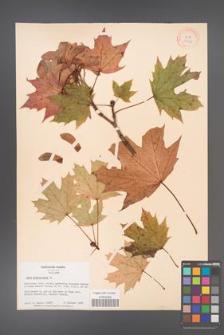 Acer platanoides [KOR 33551]
