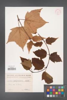 Acer pensylvanicum [KOR 193]
