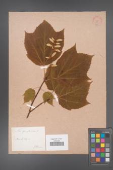 Acer pennsylvanicum [KOR 188]