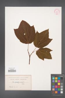 Acer pennsylvanicum [KOR 13750]