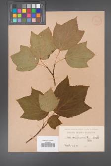 Acer pennsylvanicum [KOR 192]