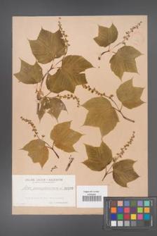 Acer pennsylvanicum [KOR 190]