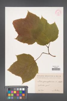 Acer pennsylvanicum [KOR 187]