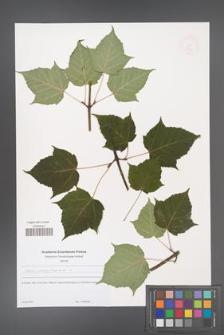 Acer pennsylvanicum [KOR 48946]