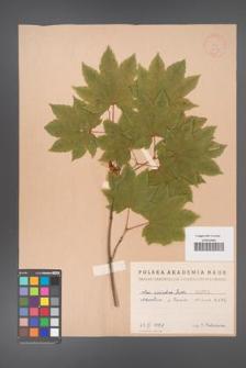 Acer circinatum [KOR 1629]
