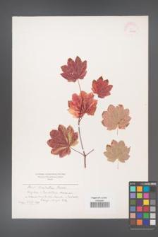 Acer circinatum [KOR 11380a]
