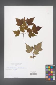 Acer crataegifolium [KOR 49689]