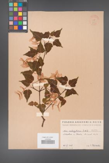 Acer crataegifolium [KOR 1630]
