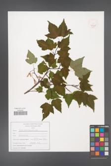Acer crataegifolium [KOR 47528]