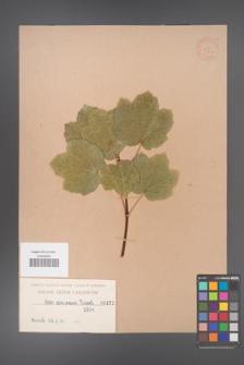 Acer coriaceum [KOR 173]