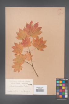 Acer circinatum [KOR 162]