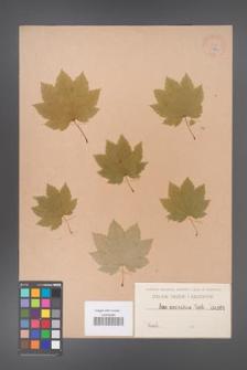 Acer circinatum [KOR 161]