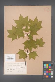Acer cappadocicum [KOR 111]