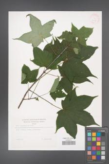 Acer cappadocicum [KOR 32235]