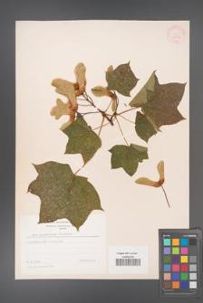Acer cappadocicum [KOR 33383]
