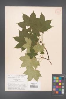 Acer cappadocicum [KOR 33378]