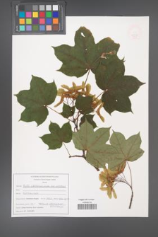 Acer cappadocicum [KOR 47574]