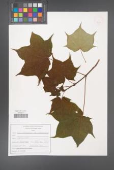 Acer cappadocicum [KOR 47581]